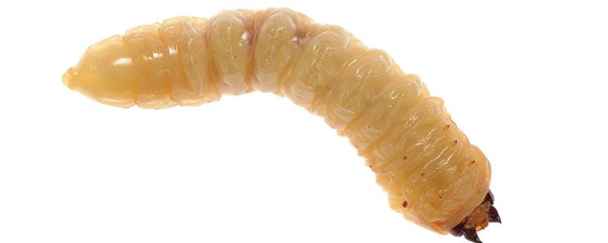 case study maggots help heal a difficult wound wound care advisor