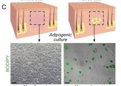 fat heal scars adipogenic culture