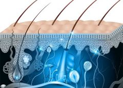 Regenerates Full-Thickness Hair-Bearing Skin in Burns and Wounds