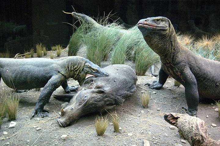 synthetic peptide heal komodo dragon